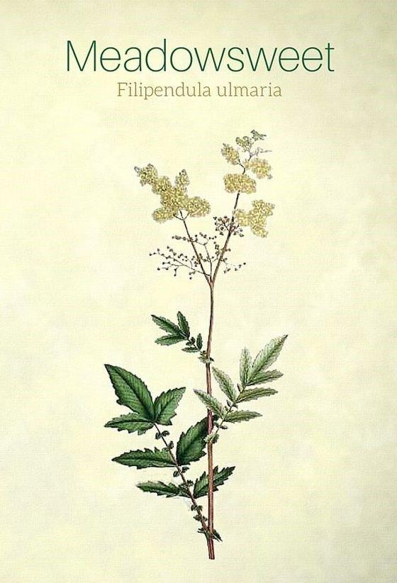 Filipendula Ulmaria Meadowsweet