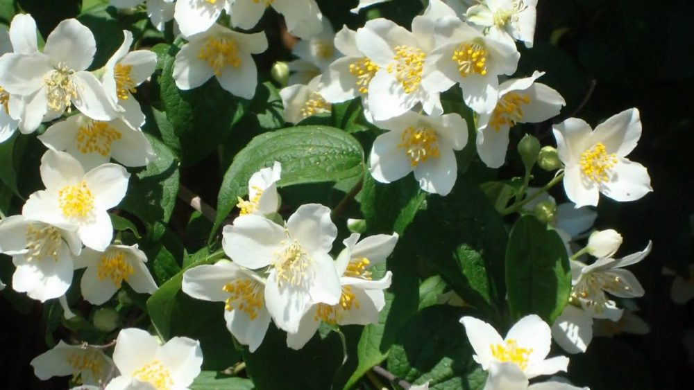 The Citrusy Mock Orange