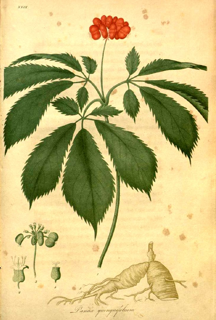 Panax Quinquefolia Ginseng