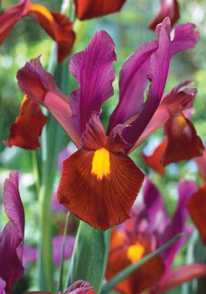 A Magenta Red Dutch Iris
