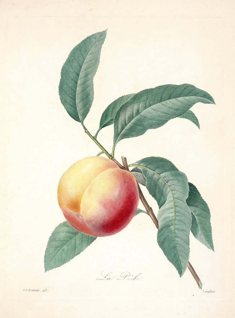 Color Etching Of Peach Tree Limb