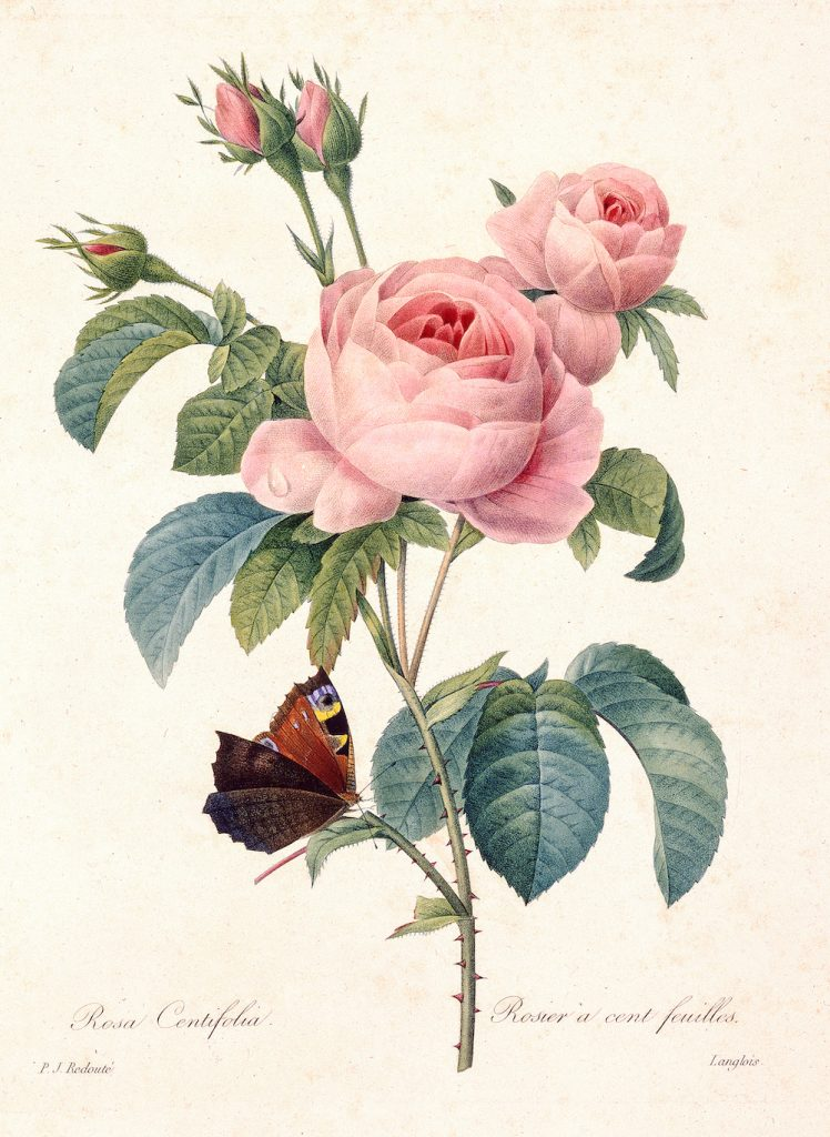 Colored Etching Of Rose Limb
