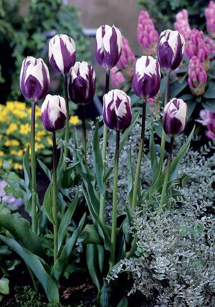 A tulip called Rem's Favorite