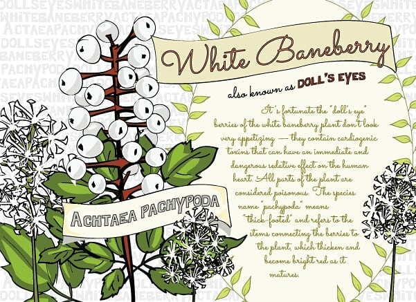 White Baneberry Achtaea Pachypoda