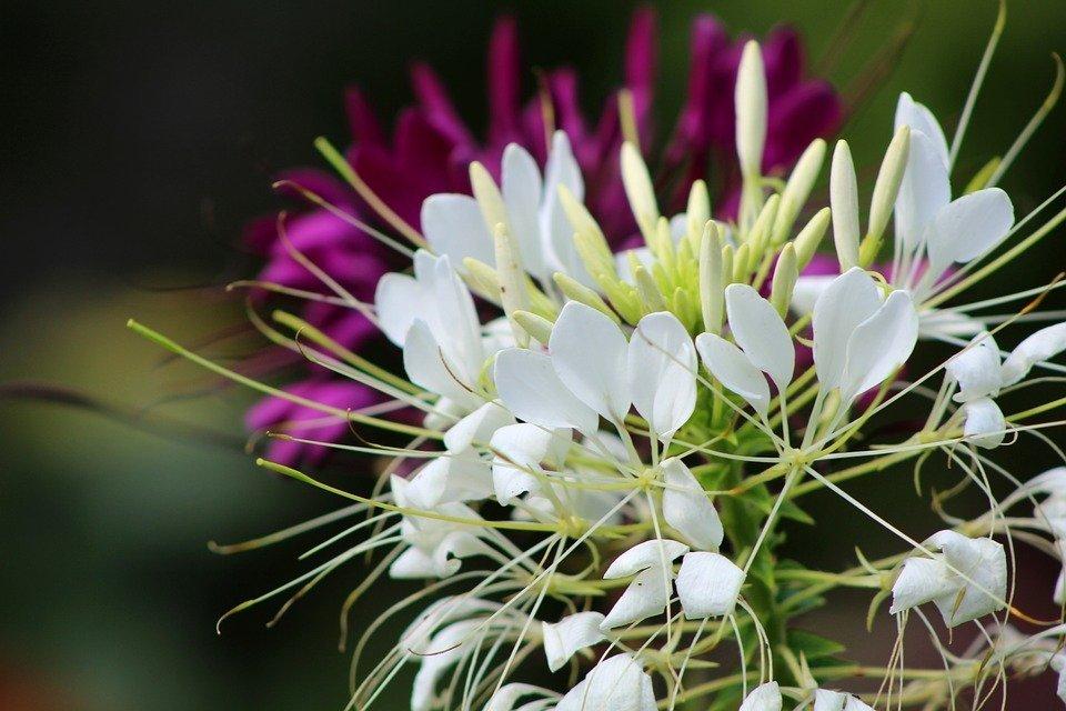 Cleome Spider Flower