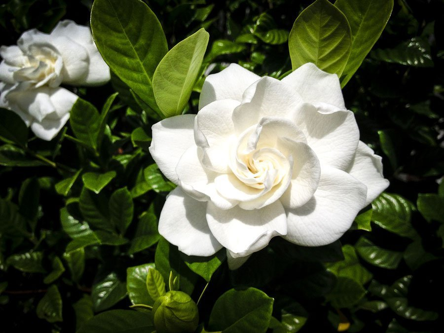 A Velvety And Alluring Gardenia