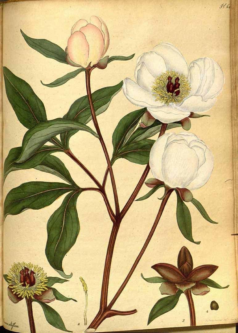 The Peony Paeonia Lactiflora Pallas