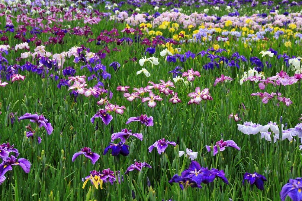 A field of Japanese iris