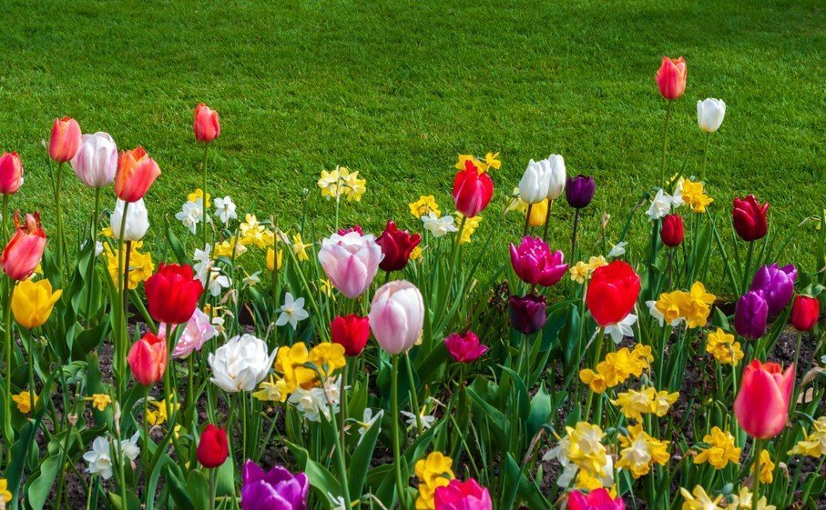 How To Plant, Grow and Care for Tulips