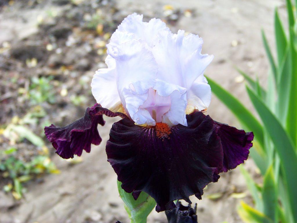 The big bearded iris