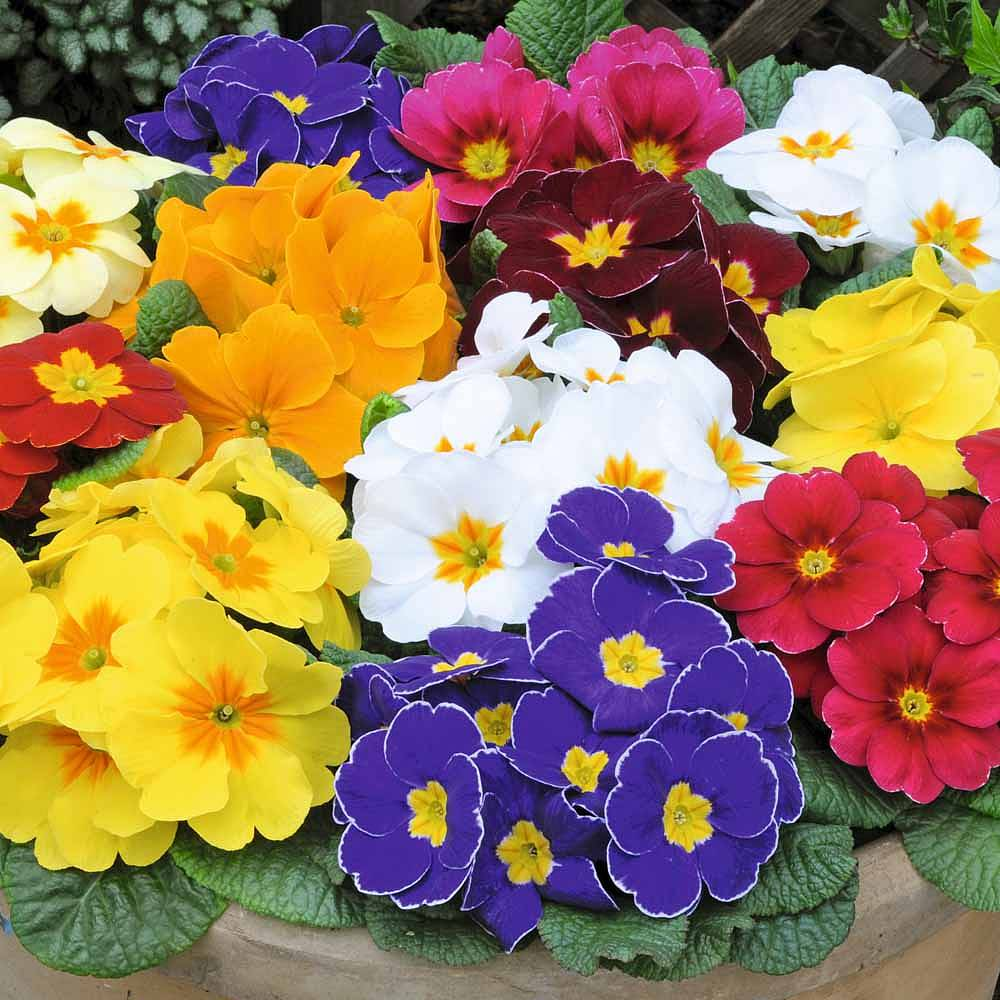 The Colorful Scented Primrose