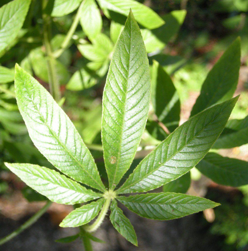 Flat Hand-Shaped Cleome Leaf