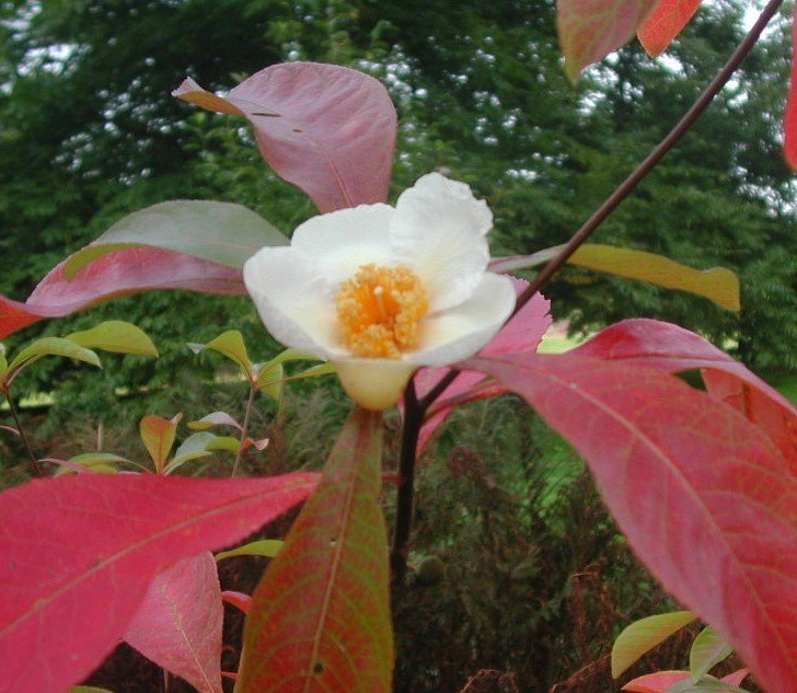 The Franklinia Alatamaha Flowering Bush