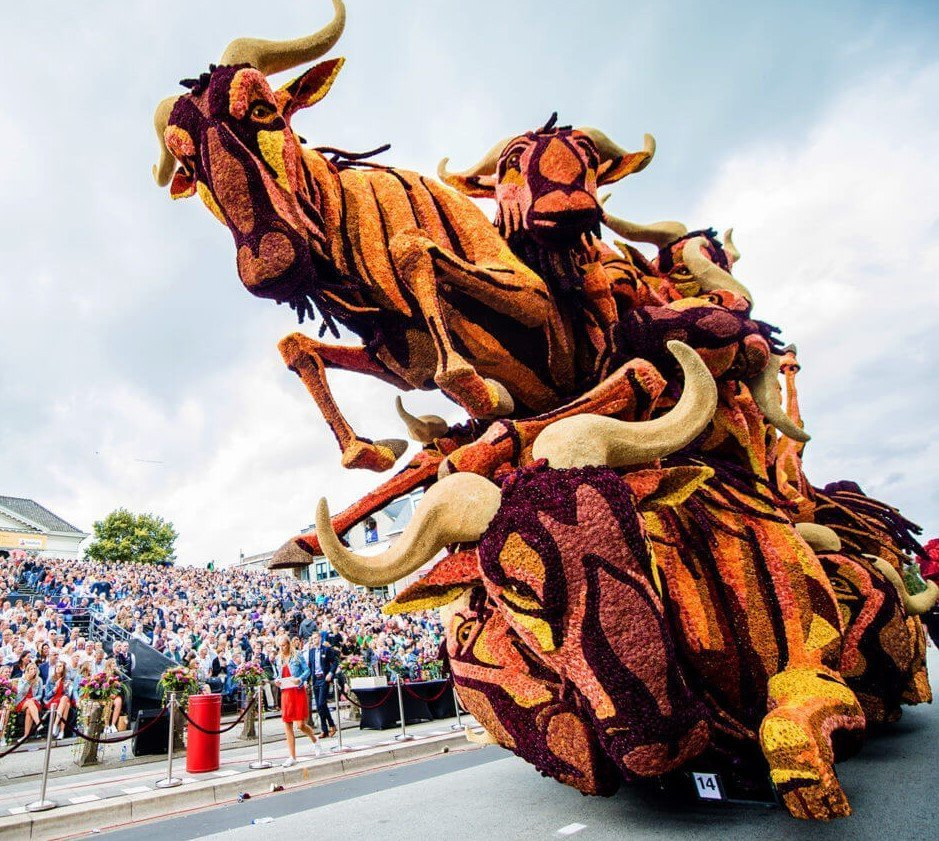 Netherland flower parade oxen