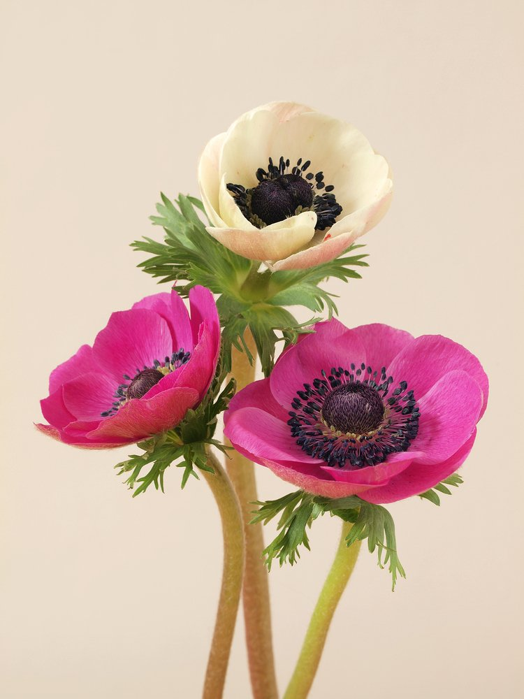 The origins and meaning of Anemone