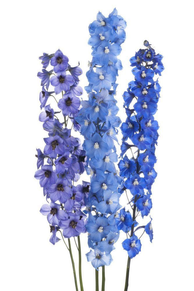 Delphinium Flowers and their meaning