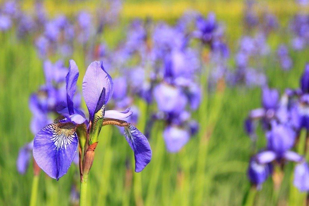 Field of Iris flowers