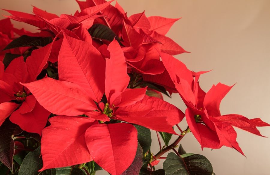 The origination of Poinsettias and their meaning