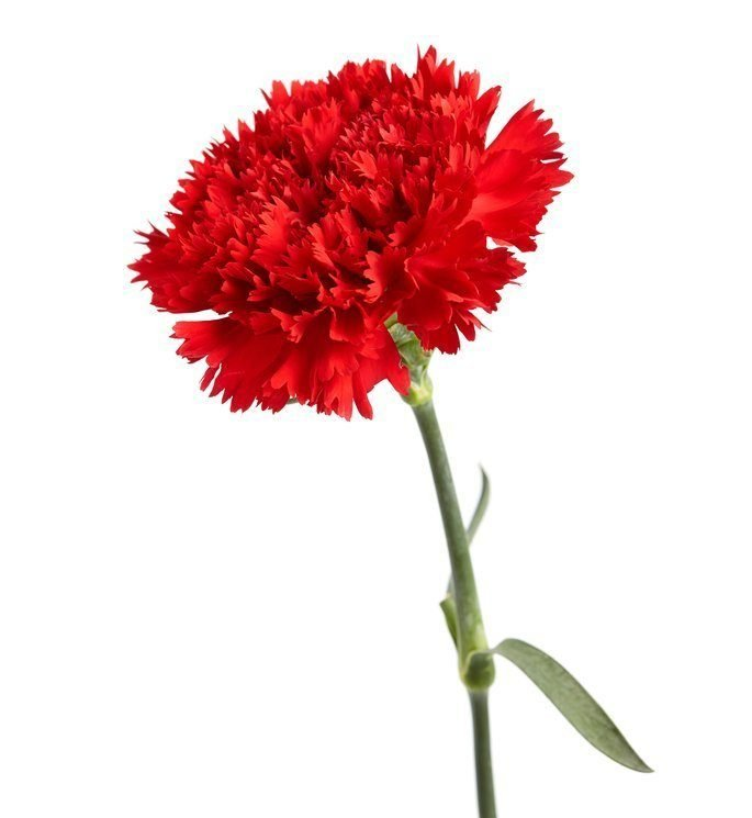 Dark red carnation