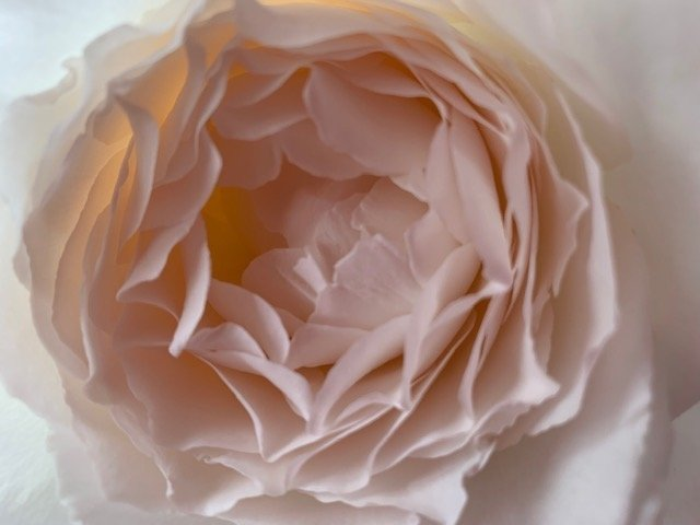 The fragrant garden rose