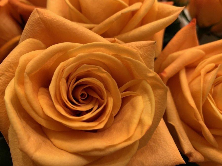 Downton Abbey Rose Nexus