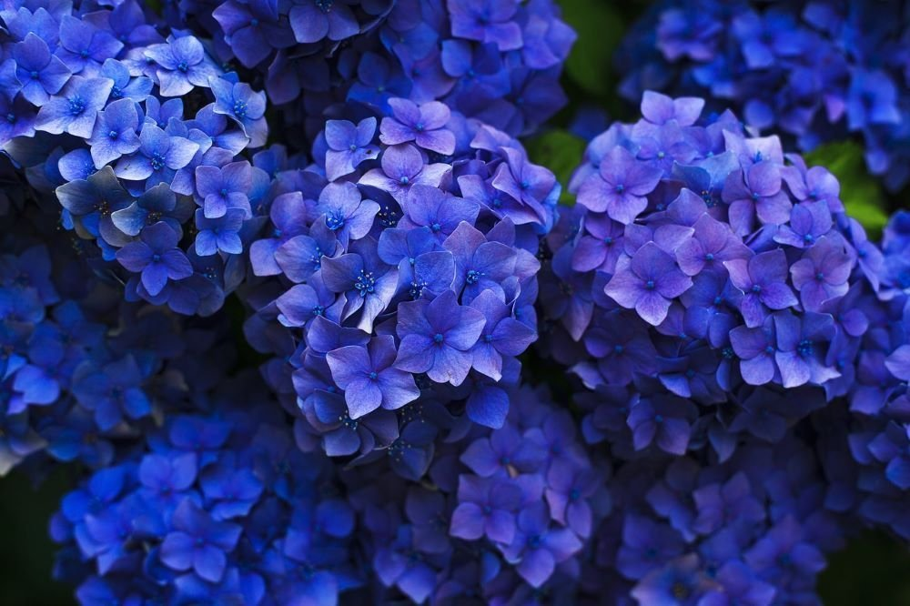Hydrangea Flowers and their meaning