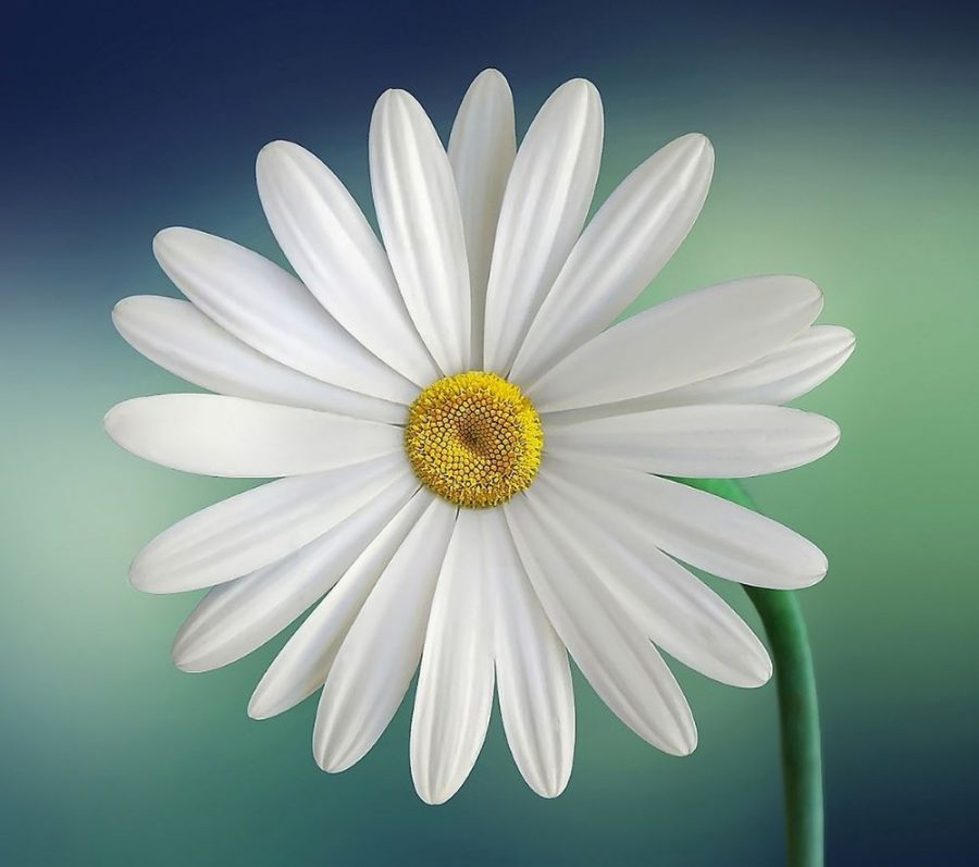 A perfect Daisy flower