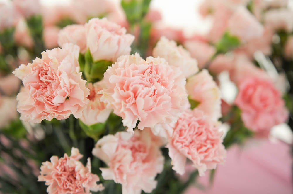 Pink Carnations and Breast Cancer