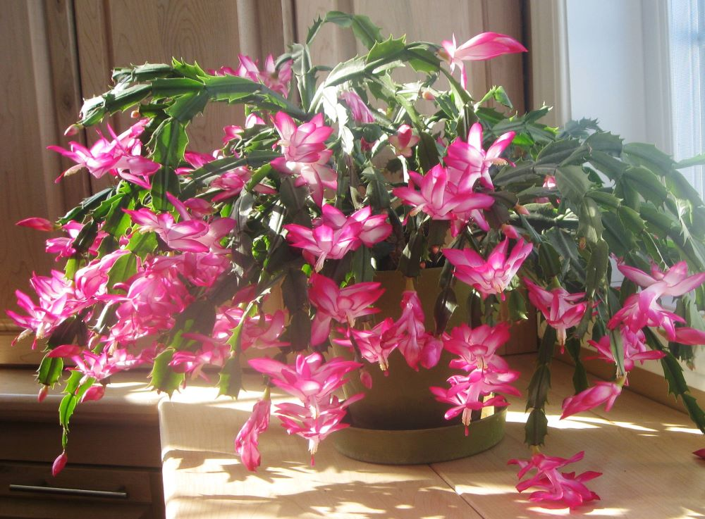 Christmas cactus Holiday planting