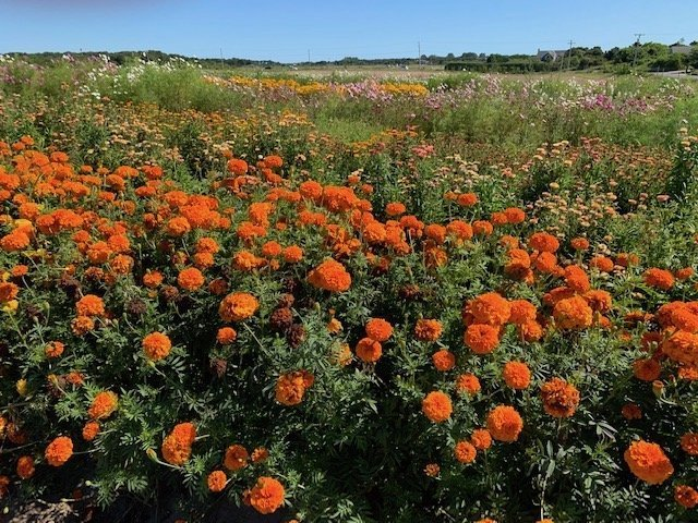 A field of orange marigolds