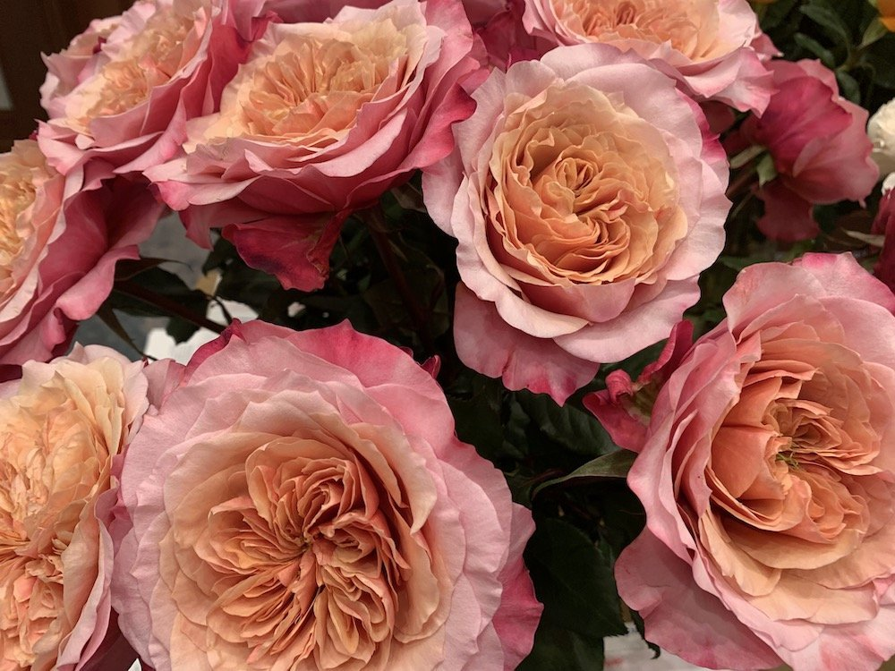 Group of pink orange and red roses