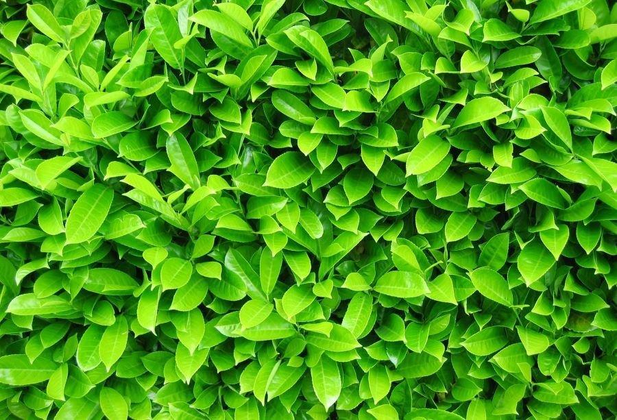 Poisonous Laurel hedge