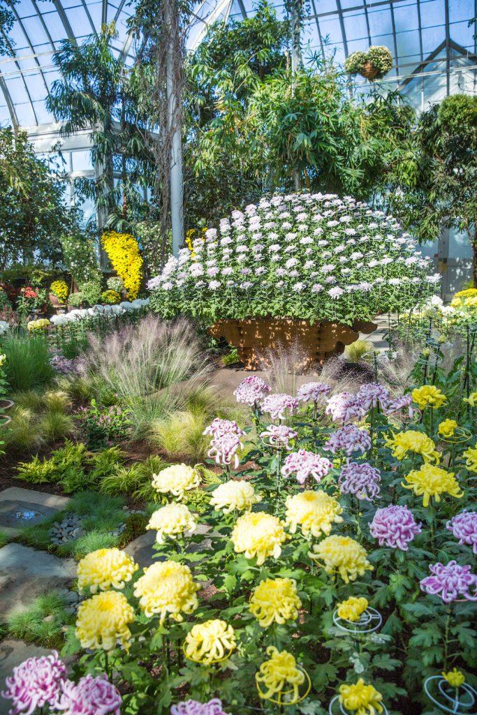 Chrysanthemums conservatory