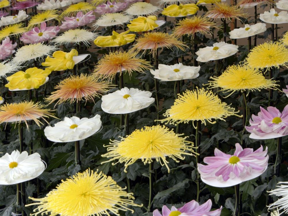 Cascades of chrysanthemums and exotic species